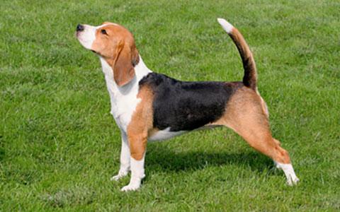 Beagle Hypothyroidism Ufaw