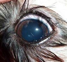 Eyelashes Growing Into Eye Dog