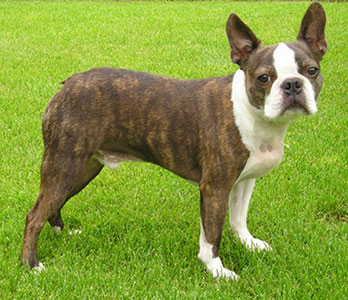 Boston Terrier - Brachycephalic Airway Obstruction Syndrome - UFAW