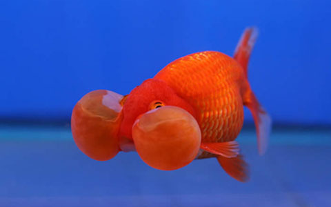Bubble-Eye Goldfish