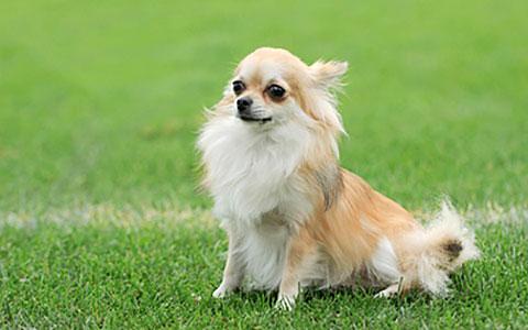 Chihuahua Hydrocephalus Ufaw