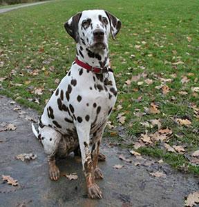 Dalmatian Deafness Ufaw