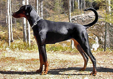 Doberman Pinscher Cervical Vertebral Malformation Syndrome Ufaw