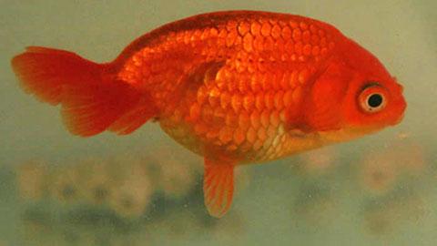 eggfish goldfish absent dorsal fin ufaw