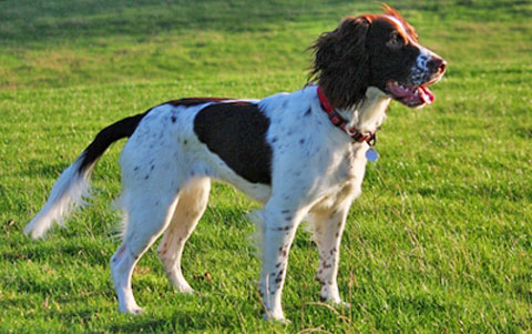 English Springer Spaniel - Primary Immune-Mediate ...