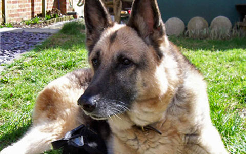 German Shepherd - Degenerative Myelopathy - UFAW