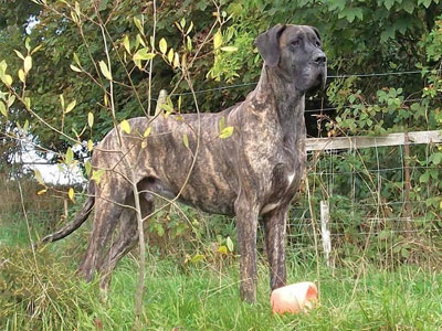 Great Dane - Dilated Cardiomyopathy - UFAW