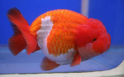 lionchu goldfish ufaw