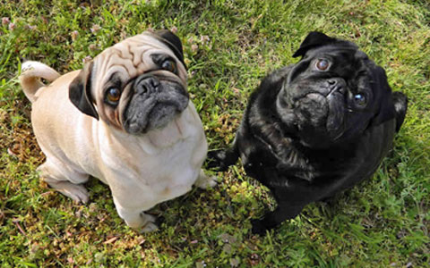 Pug Brachycephalic Airway Obstruction Syndrome Baos Ufaw