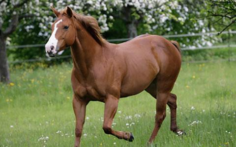 Quarter Horse Hereditary Equine Regional Dermal Asthenia Ufaw