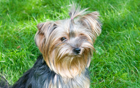 Yorkshire Terrier Tracheal Collapse Ufaw