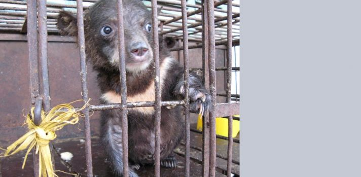 With the right help, bears can recover from the torture of bile farming