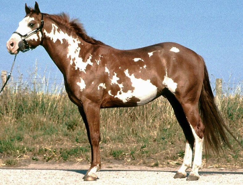 American Paint Horse - Overo Lethal White Foal Syndrome - UFAW