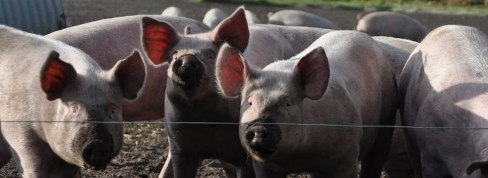 Castration in Pigs - UFAW