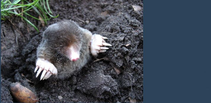 UFAW updates advice relating to moles